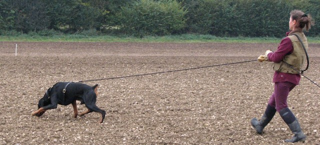 Video Of Training The Search Square In Dog Working Trials